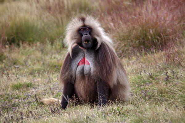 Äthiopien Reise - Gelada Affe