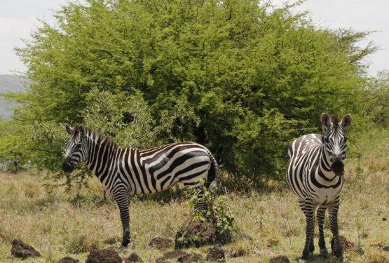 Äthiopien Reise - Zebras