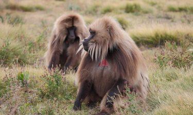 Äthiopien Fotoreise - Gelada Affen im Simiengebirge