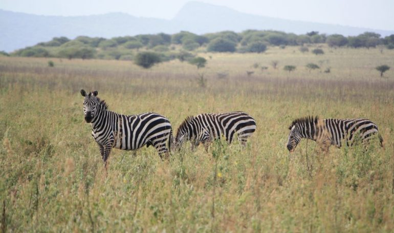 Rundreise Äthiopien - Zebras im Nech Sar Nationalpark