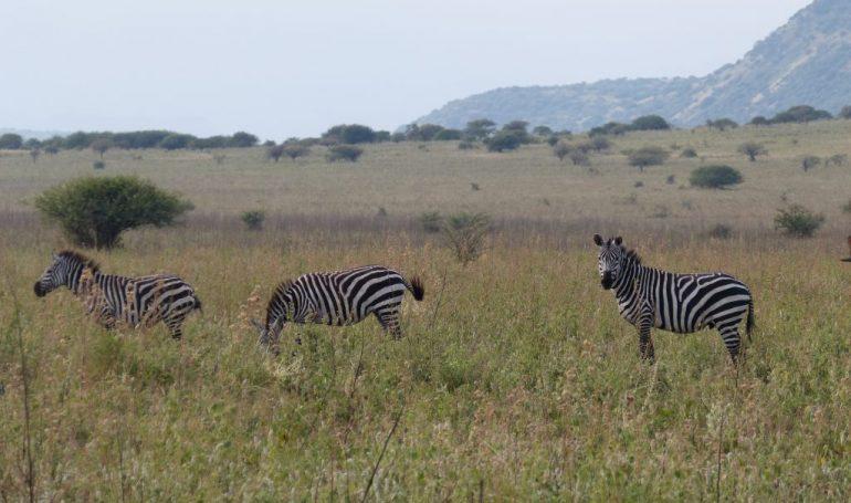 Äthiopien Reise - Zebras im Nech Sar Nationalpark