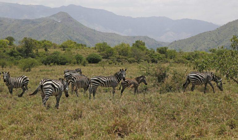 Äthiopien Urlaub - Zebras im Nech Sar Nationalpark