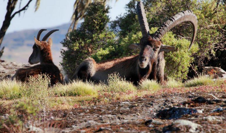 Äthiopien Reiseveranstalter - Walia Steinbock