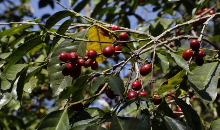 Äthiopien Rundreisen - Kaffeebohnen