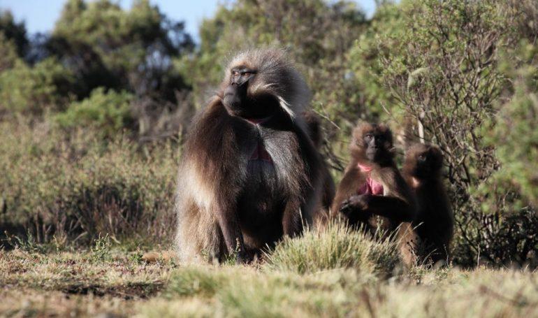 Äthiopien Reisen - Gelada Affen