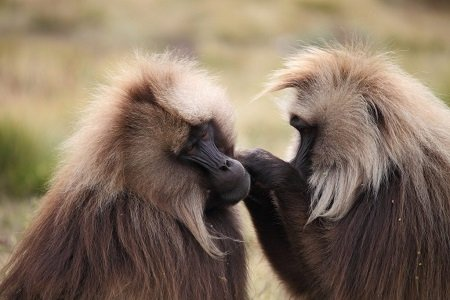 Allestour - Fotoreise Äthiopien - Gelada Affen im Semien Nationalpark
