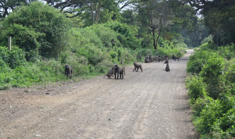Baboons in Arba Minch