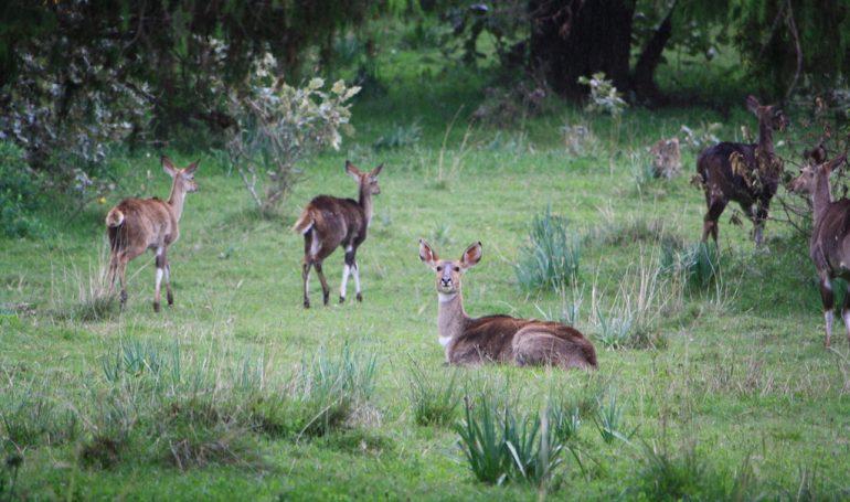 Menelik Bush Bucks at Dinsho